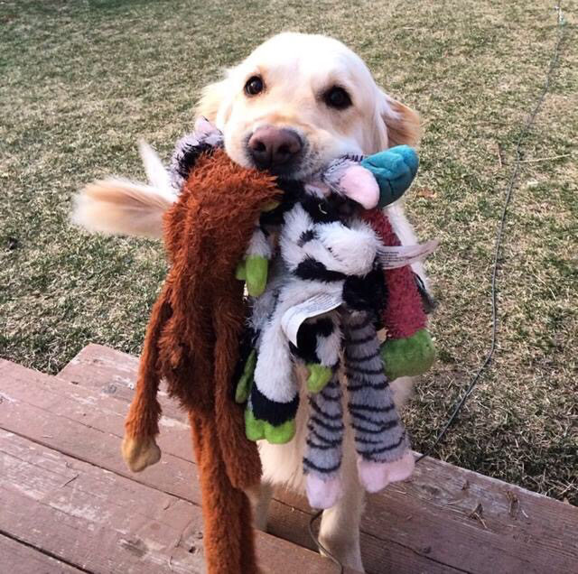 Image result for dogs bringing toys