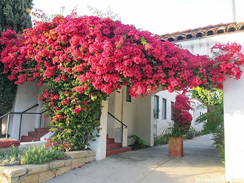 Bougainvillea is incredibly popular and grows quickly.