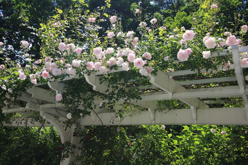 Roses make excellent climbing plants for pergolas and arches.