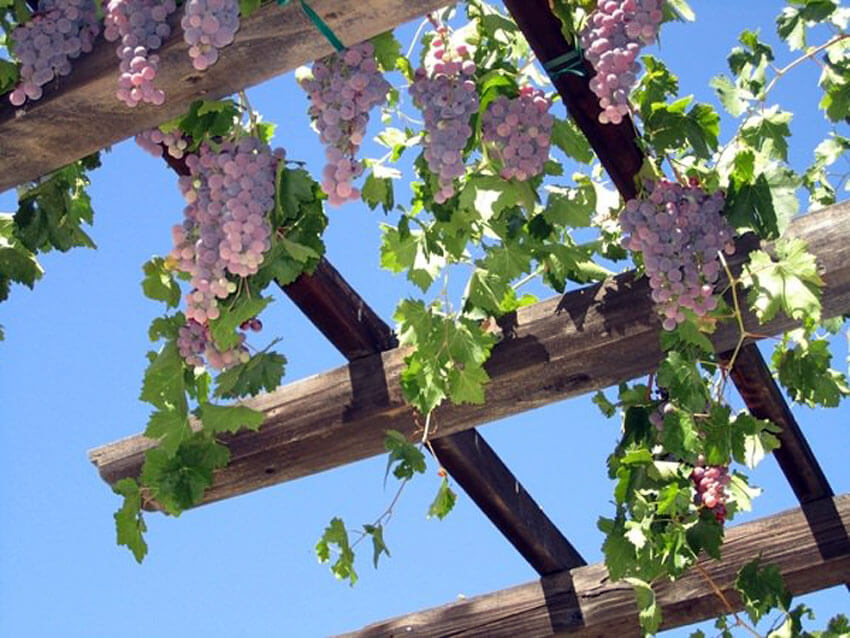 Grapevines are excellent climbing plants.