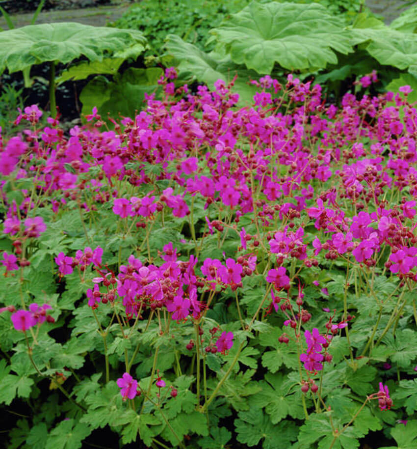 Bigroot Geranium is a beautiful ground cover for your shade garden.
