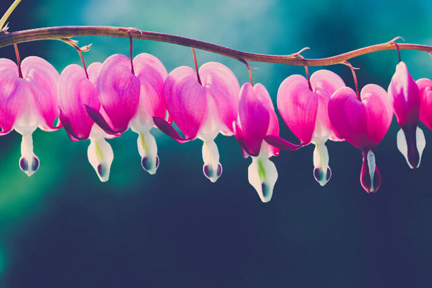 Bleeding Hearts add a dramatic and romantic flair to your shade garden.
