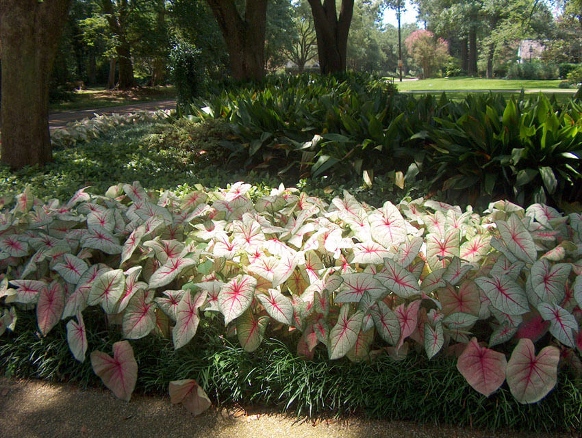 White Queen Caladium is an absolutely stunning addition to any shade garden.