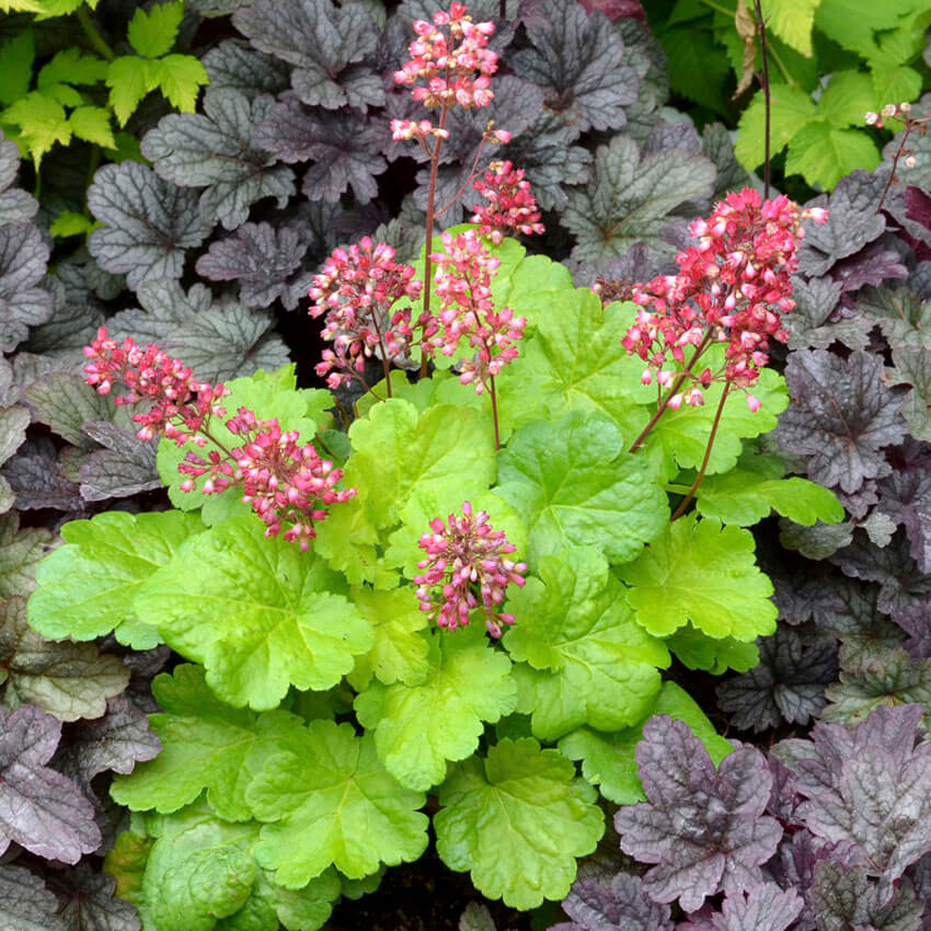 Coral Bells come in many different colors, so you'll be able to find one for your shade garden!