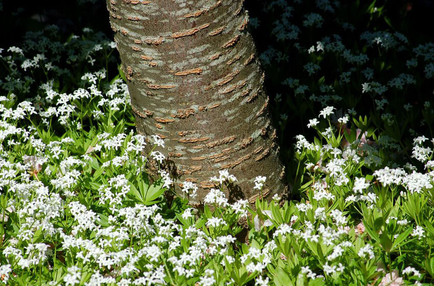 Sweet Woodruff is a beautiful, classic flower for your shade garden.