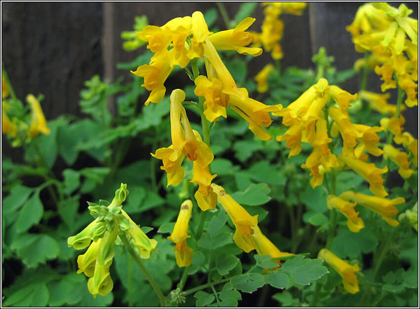 Yellow Corydalis adds a cheerful pop of color to your shade garden.