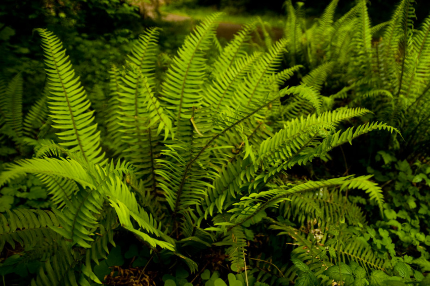 The western sword fern is found in Alaska and California. Source:  Vanatta Bros