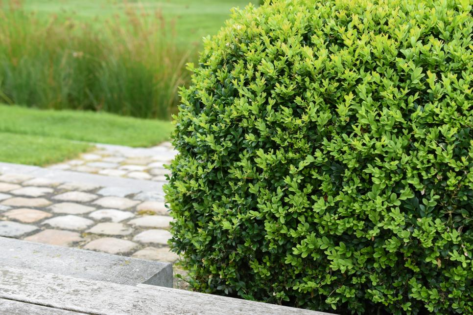 Boxwood is a very popular option. Source: HGTV