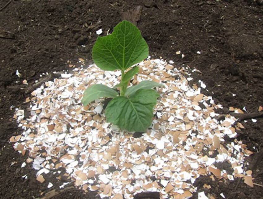 Eggshells can be used as mulch for your garden.