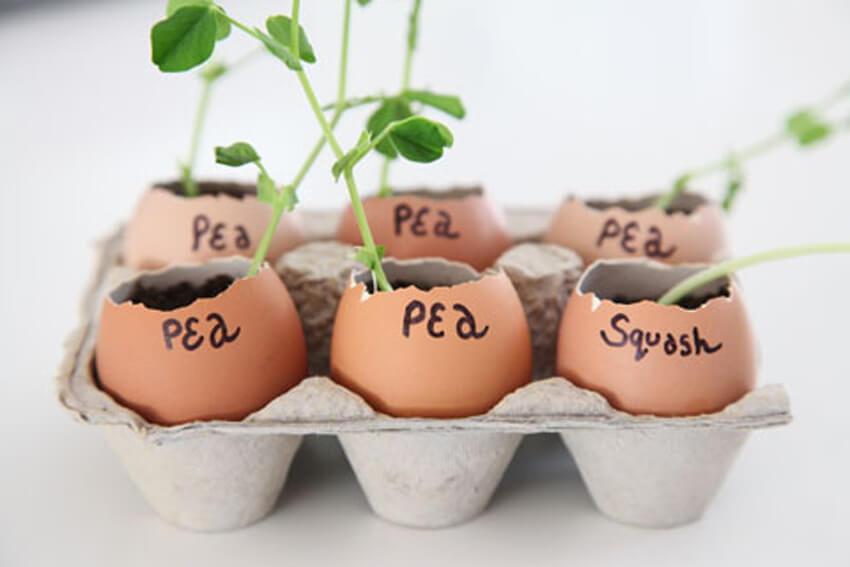Eggshells make great seed starters!